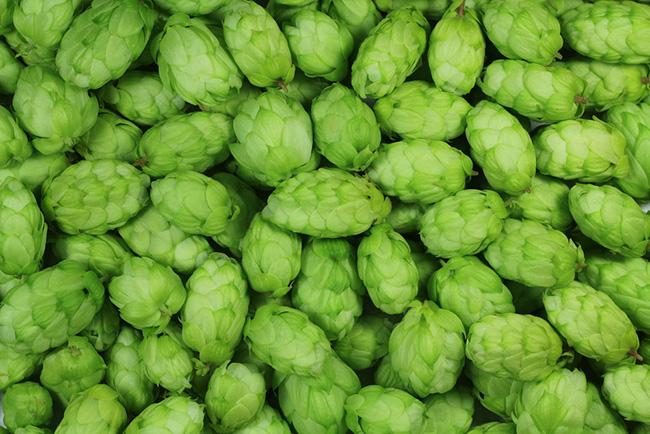 Cônes de houblon frais